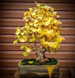 ginkgo biloba bonsai fall color