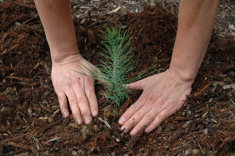 planting a small pine tree seedling instead of a large tree