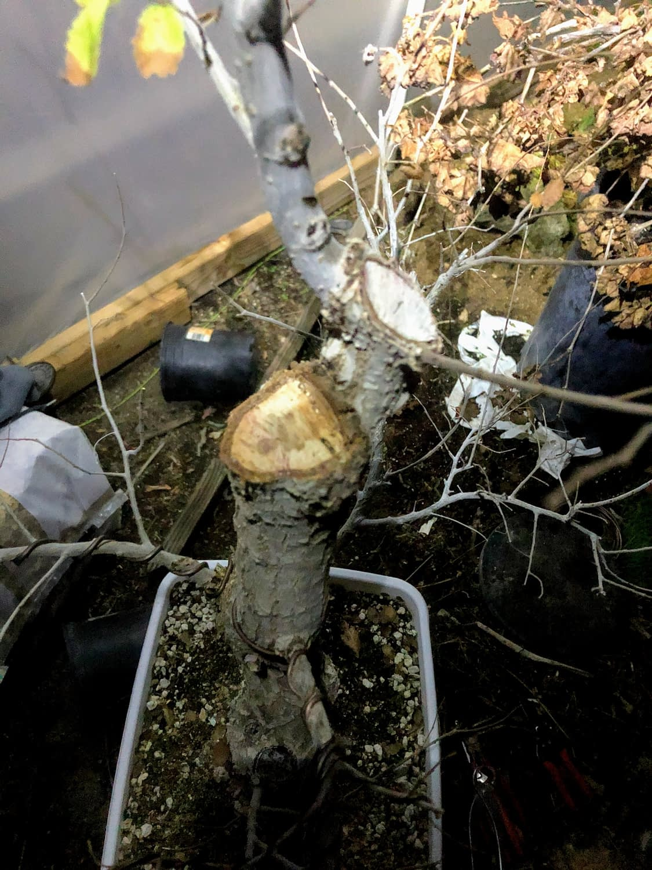 siberian elm bonsai structural pruning