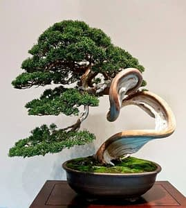 Juniper Chinensis Shimpaku Bonsai Deadwood