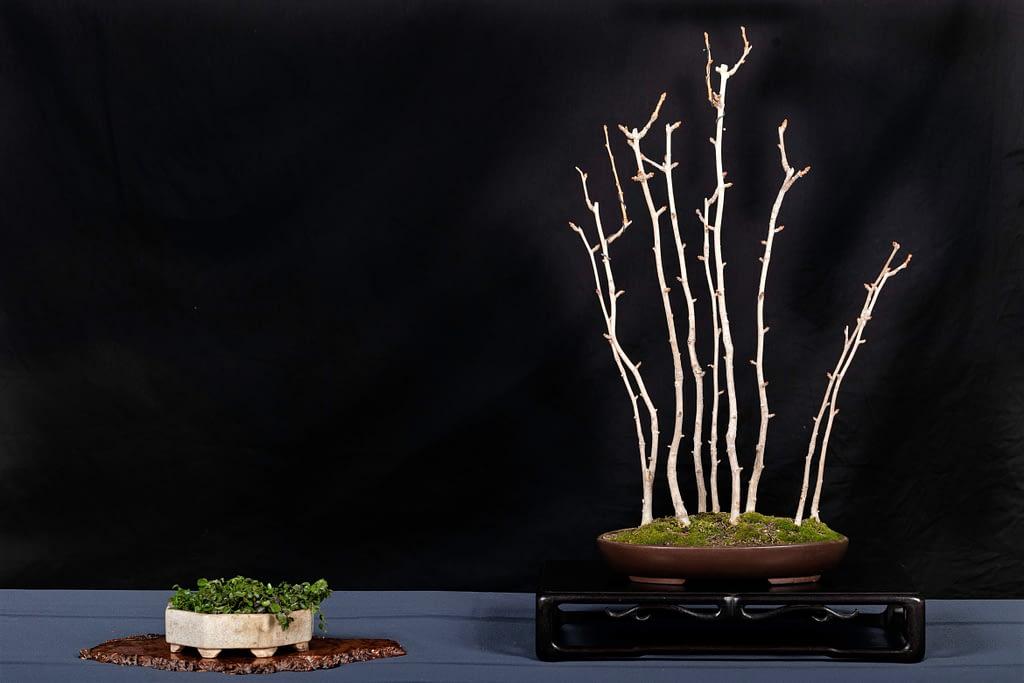Ginkgo Bonsai Forest Planting Display