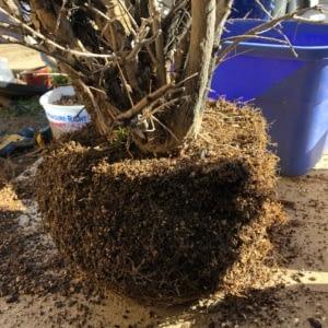 repotting pomegranate bonsai