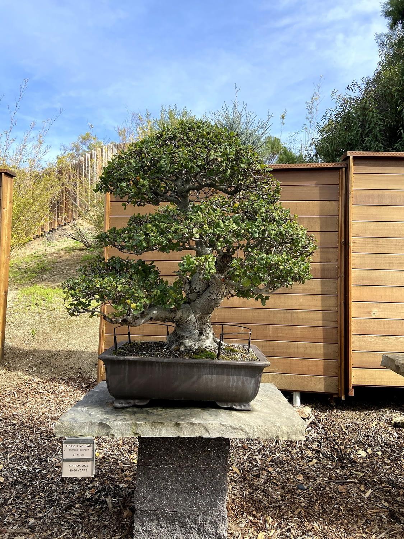 coast live oak bonsai san diego zoo