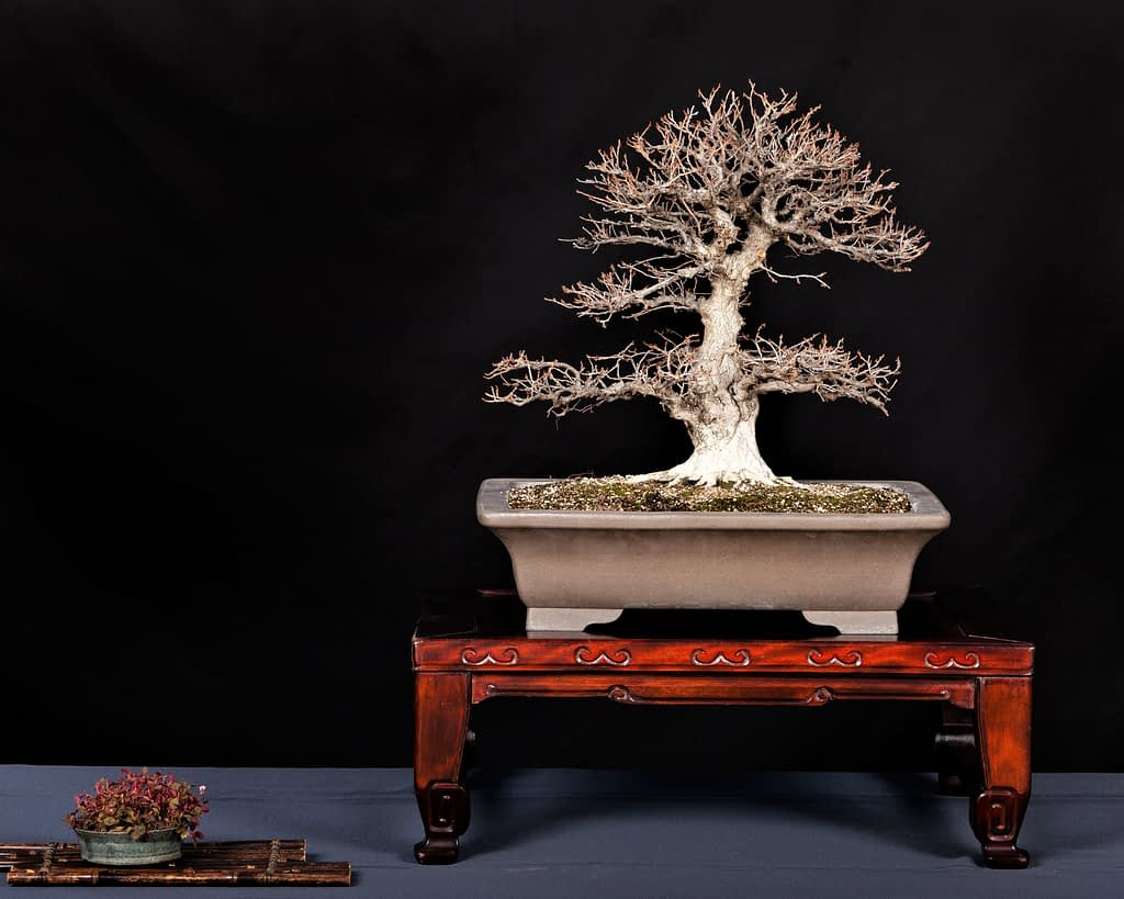 Korean Hornbeam Bonsai Display Exhibition