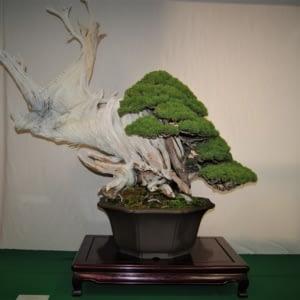 chinese juniper bonsai yamadori bonsai-a-thon 2019