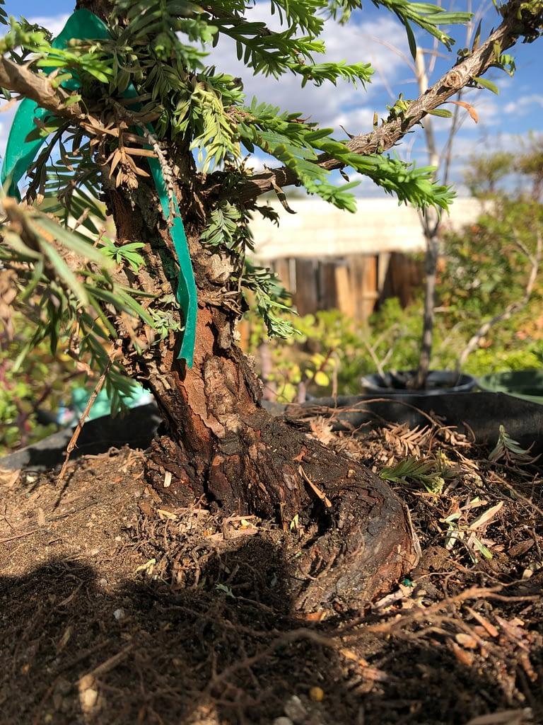 Redwood Bonsai Tree Died