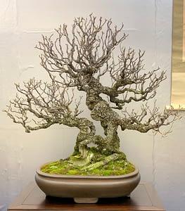 nippon bonsai exhibit tree