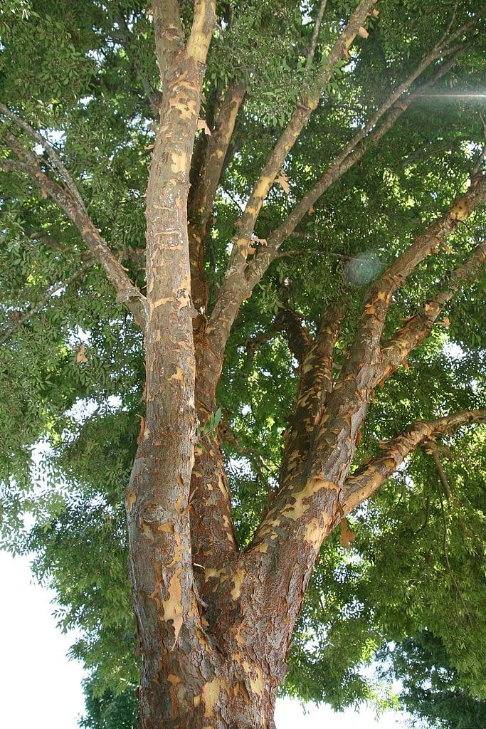 Chinese Elm Mottled Bark