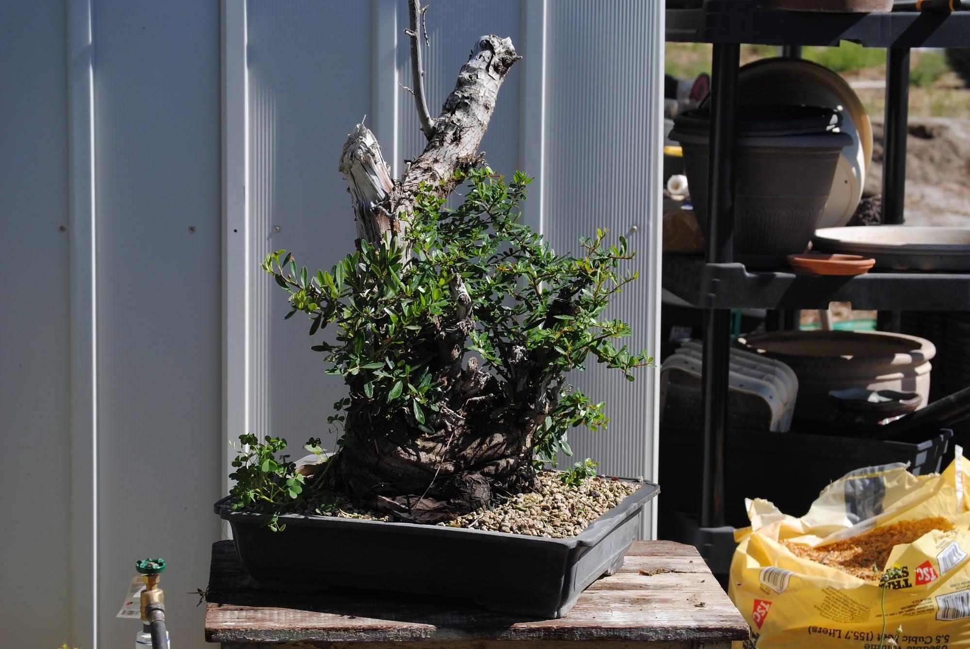 pyracantha firethorn bonsai with deadwood