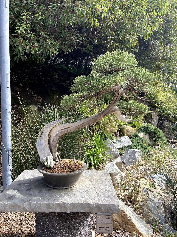 california juniper bonsai deadwood san deigo zoo display