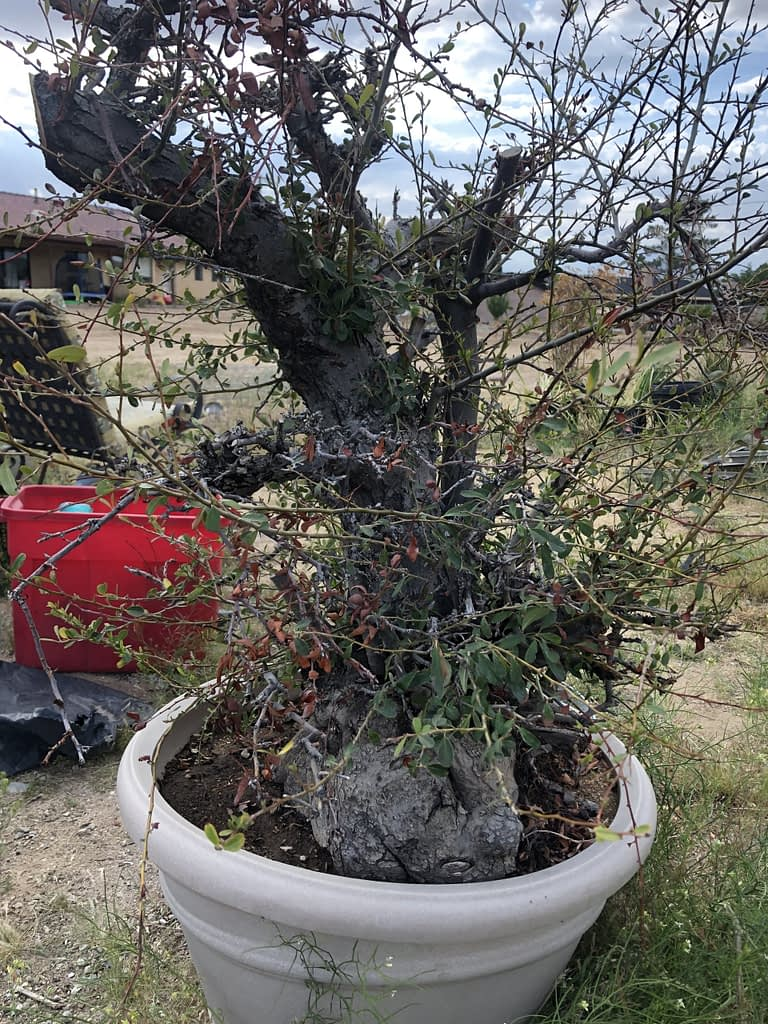 pyracantha bonsai large