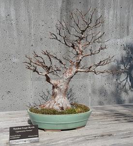 crape myrtle bonsai