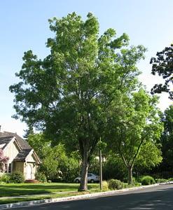 fraxinus anguvstifolia ray wood ash tree