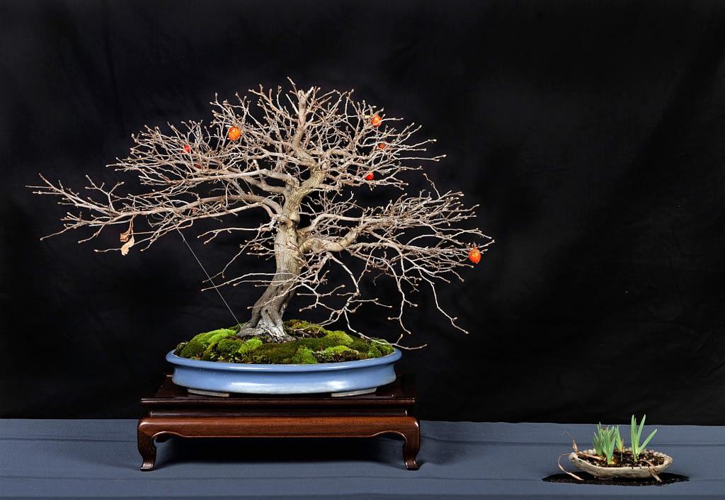 Persimmon Bonsai Tree Winter Display