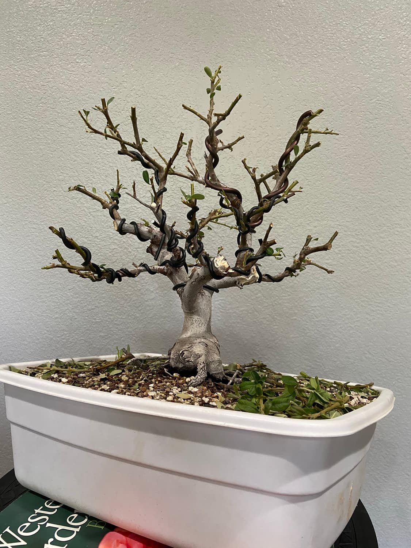 pyracantha pre bonsai for sale