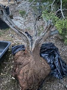 yamadori california juniper collection rootball