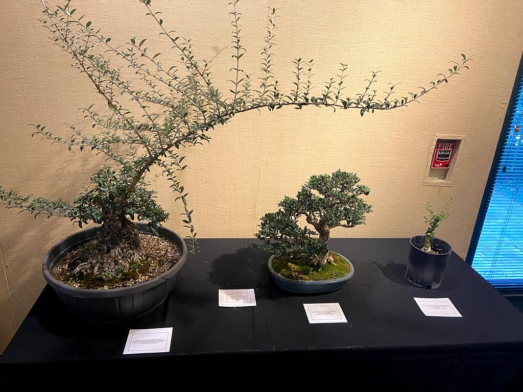 olive bonsai display at bonsai-a-thon 2020