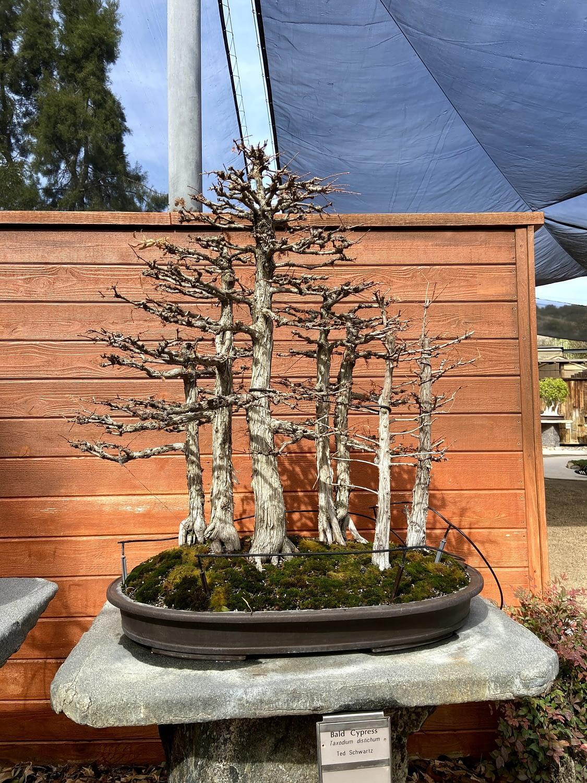 bald cypress bonsai display