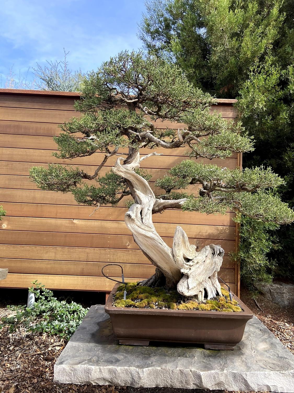 california juniper bonsai display san diego zoo (2)