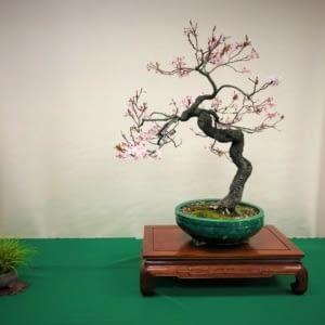 flowering plum bonsai bonsai-a-thon