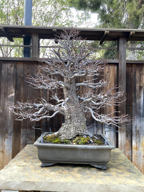 liquidambar bonsai display 1