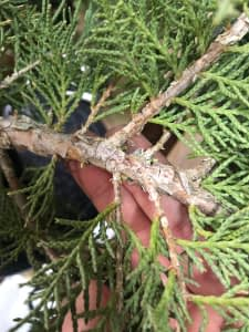 cleaning a juniper bonsai