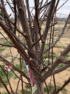 Santa Rose Plum Pruning Post