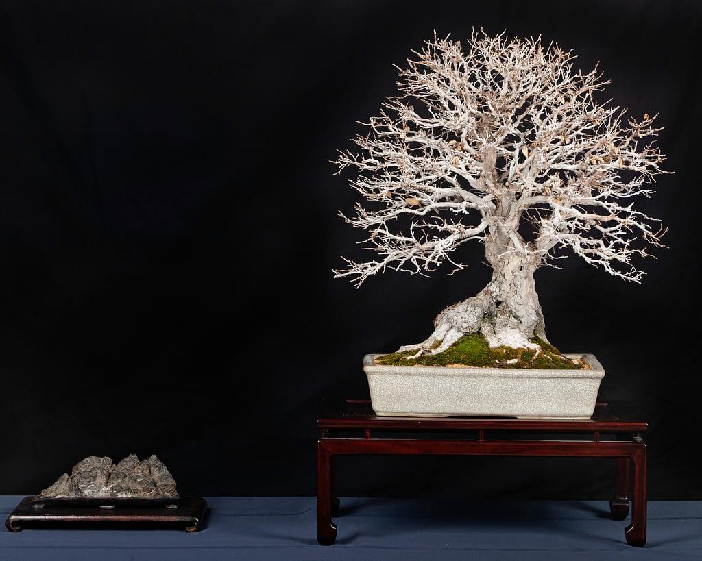 Korean Hornbeam Bonsai Display Winter Silhouette Lindsay Shiba