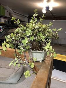 cork bark portulacaria afra bonsai