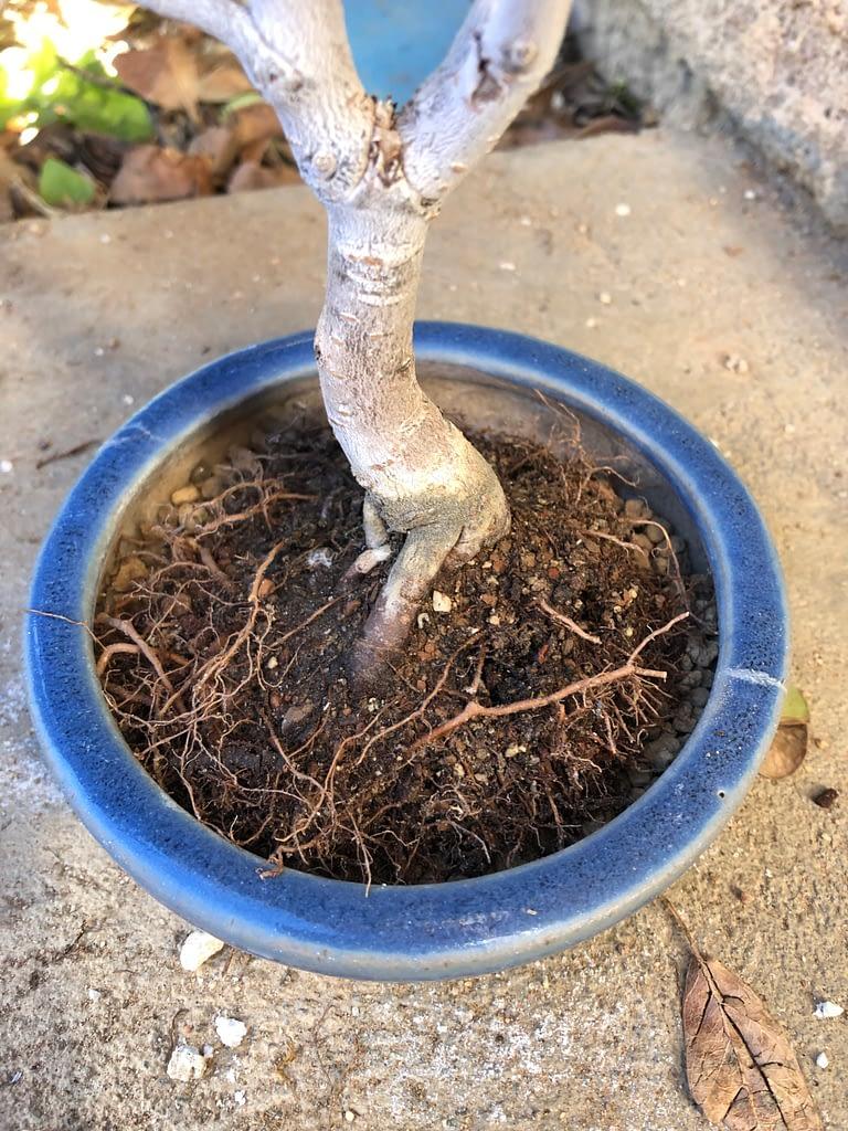 chinese elm shohin bonsai repotting