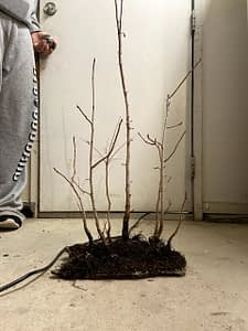 Chinese Pistache Bonsai Forest Creation (6)
