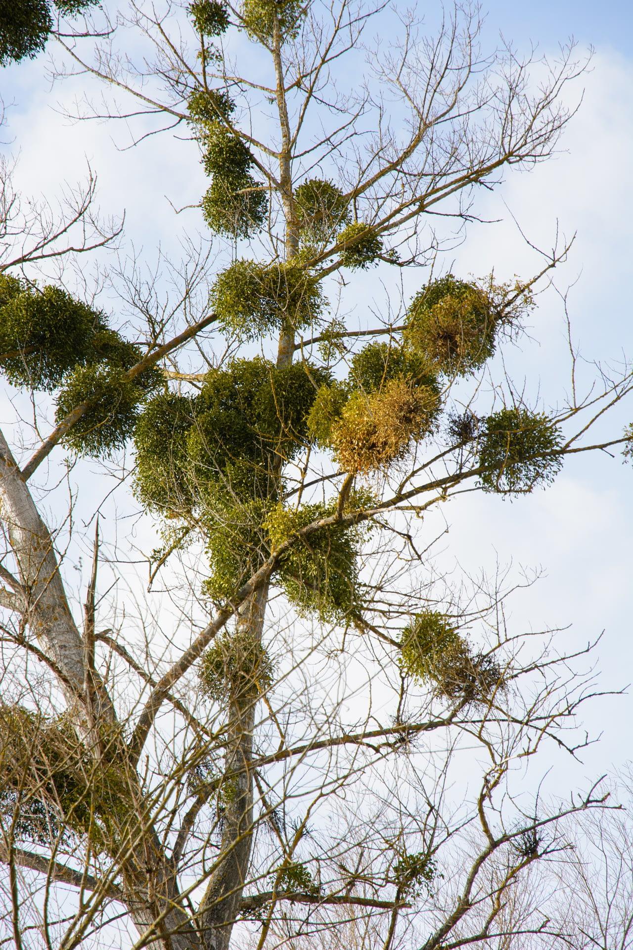 mistletoe in a deciduous tree