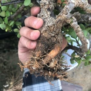 cork bark port bonsai repot