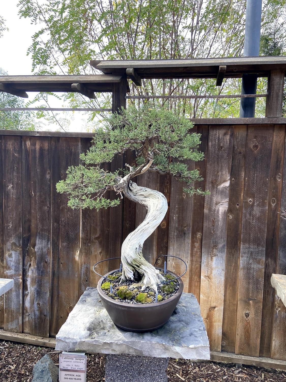 california juniper bonsai display san diego zoo