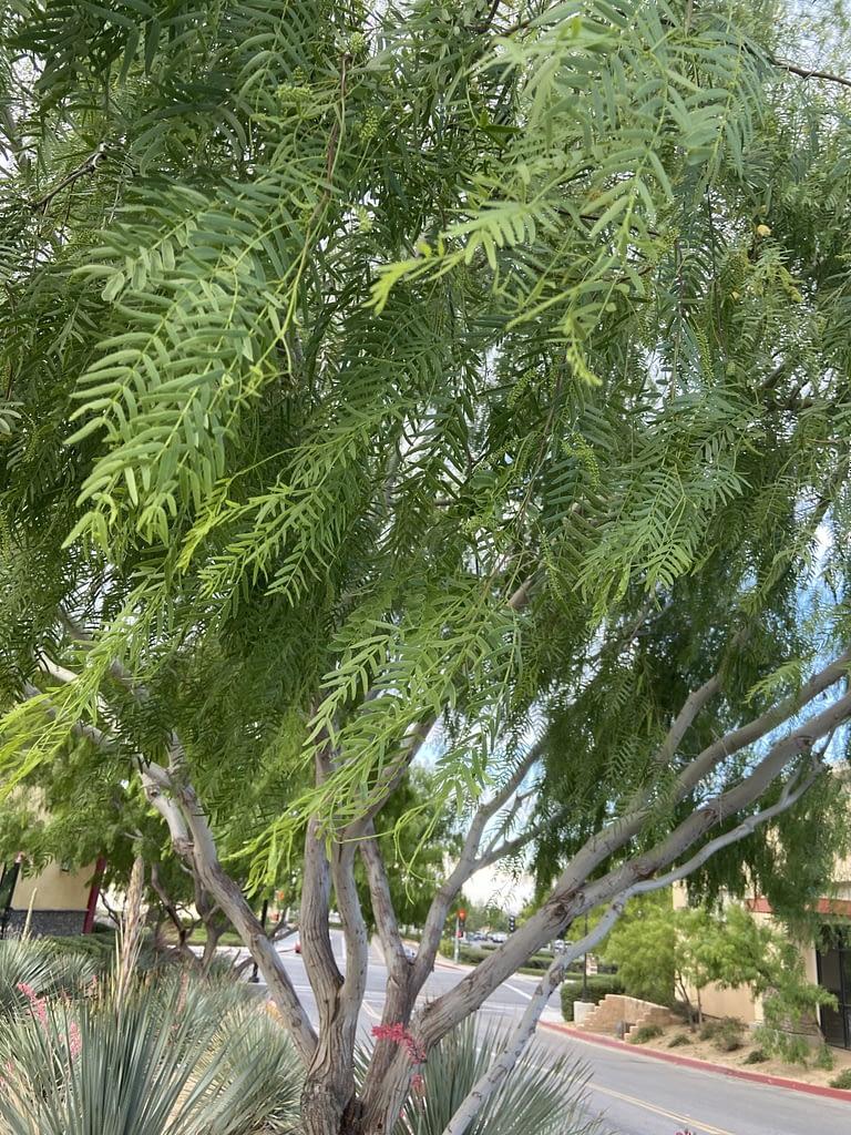 Honey Mesquite Tree