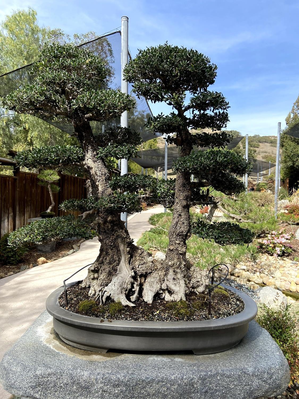 olive bonsai twin trunk display