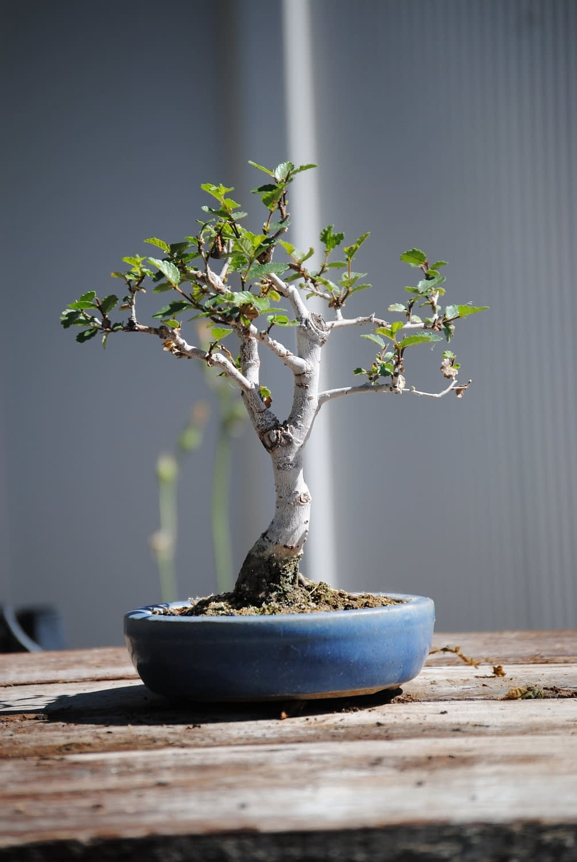 chinese elm shohin bonsai