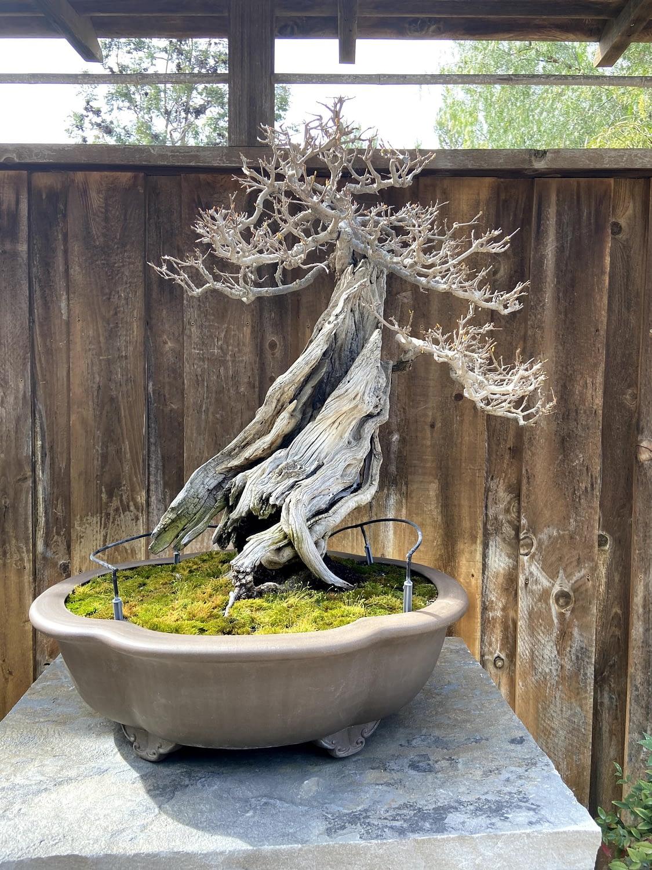 pomegranate bonsai san diego