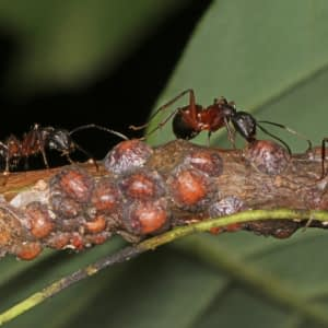 ant tending to scale insect