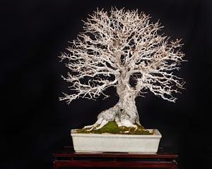 amazing korean hornbeam bonsai display winter silhouette