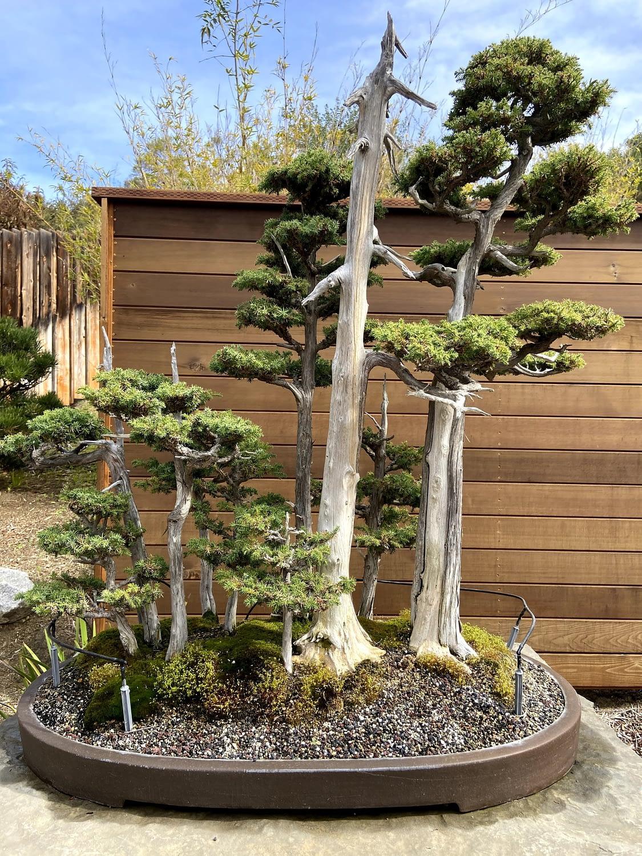foemina juniper forest bonsai display