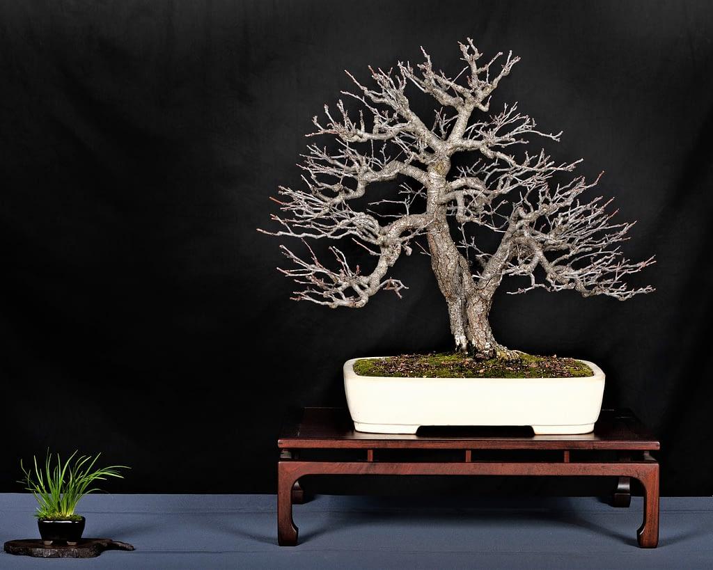 Flowering Plum Prunus Bonsai Display Winter Silhouette