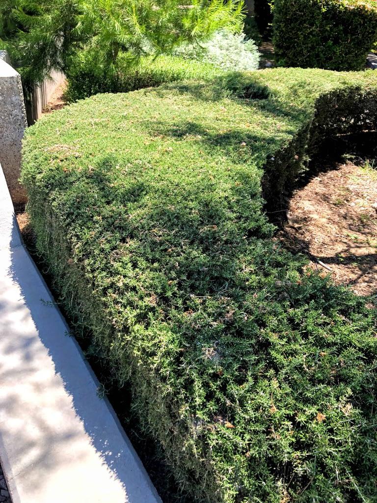 Tuscan Blue Rosemary Hedge