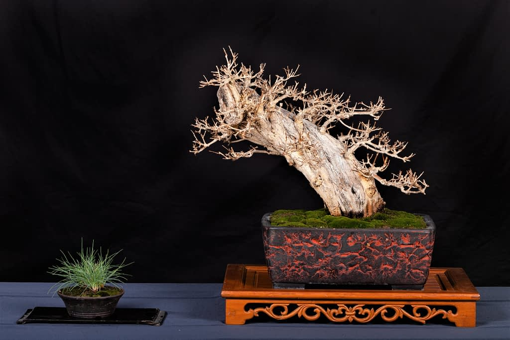 Pomegranate Bonsai Display