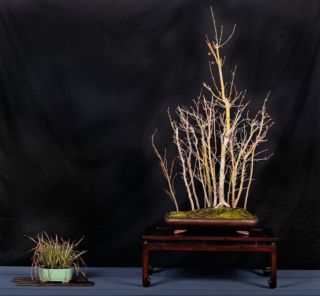 Japanese Maple Bonsai Forest Planting Display