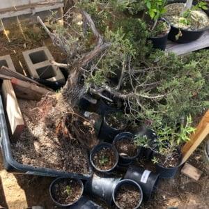 california juniper emergency repot