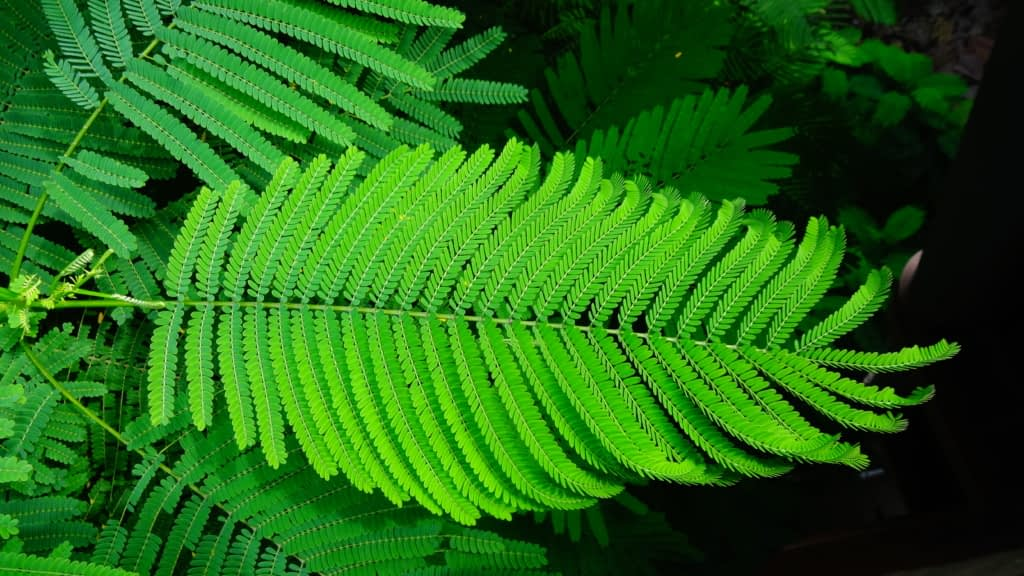 gulmohar (delonix regia) leaves