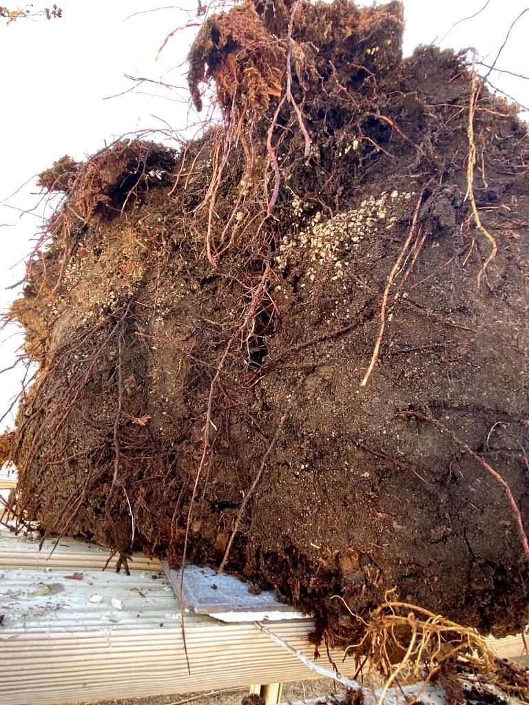 cal juniper yamadori roots