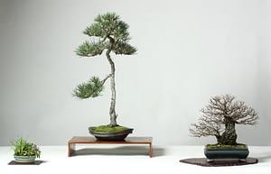 Elm Pine Bssf Bonsai Society Of San Francisco