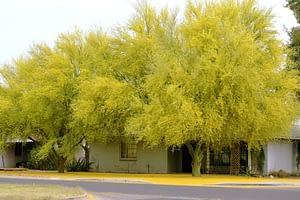 palo verde, arizona state tree